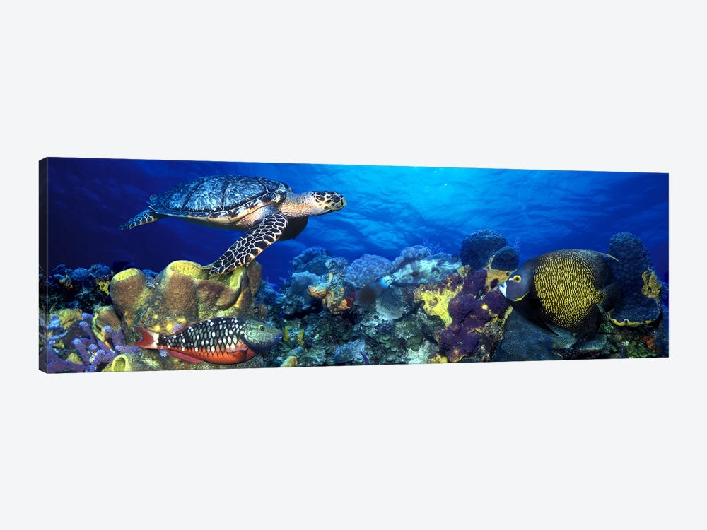 Hawksbill turtle (Eretmochelys Imbricata) and French angelfish (Pomacanthus paru) with Stoplight Parrotfish (Sparisoma viride) 1-piece Canvas Print