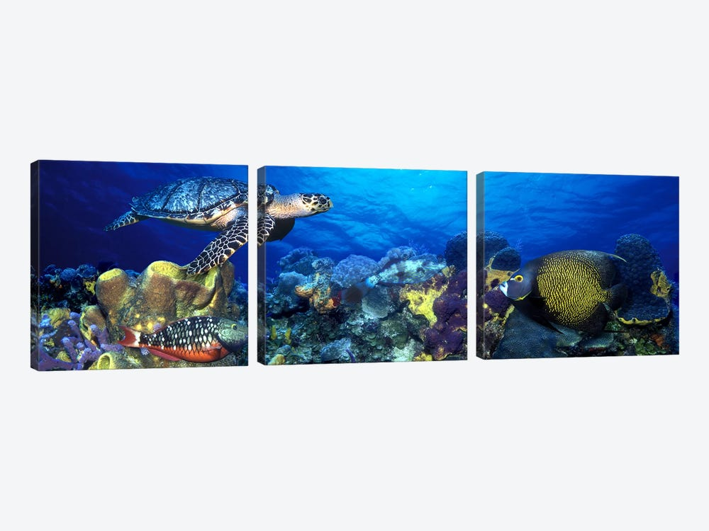 Hawksbill turtle (Eretmochelys Imbricata) and French angelfish (Pomacanthus paru) with Stoplight Parrotfish (Sparisoma viride) by Panoramic Images 3-piece Art Print