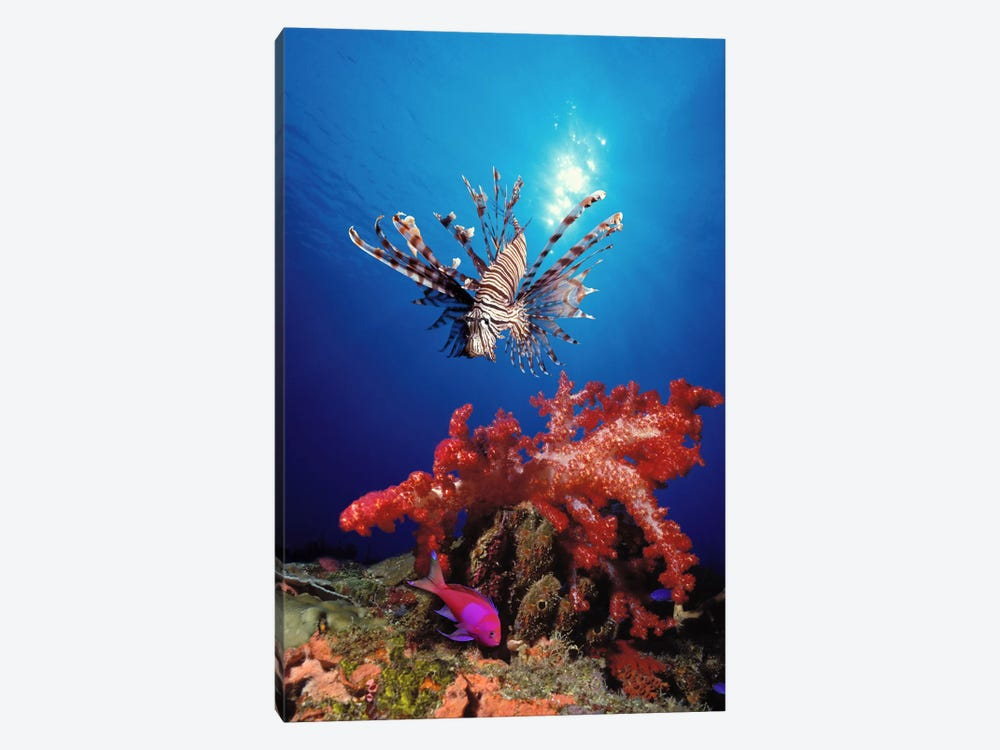 Lionfish (Pteropterus radiata) and Squarespot anthias (Pseudanthias pleurotaenia) with soft corals in the ocean by Panoramic Images 1-piece Canvas Artwork