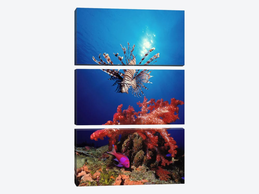 Lionfish (Pteropterus radiata) and Squarespot anthias (Pseudanthias pleurotaenia) with soft corals in the ocean by Panoramic Images 3-piece Canvas Art