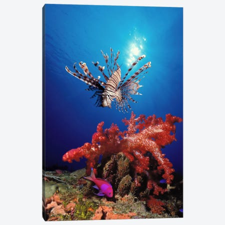 Lionfish (Pteropterus radiata) and Squarespot anthias (Pseudanthias pleurotaenia) with soft corals in the ocean Canvas Print #PIM7688} by Panoramic Images Canvas Art Print