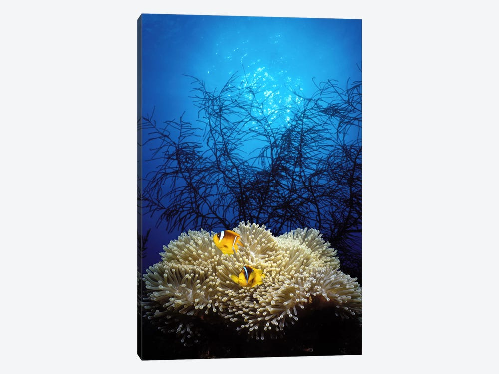 Mat anemone and Allard's anemonefish (Amphiprion allardi) in the ocean by Panoramic Images 1-piece Canvas Print