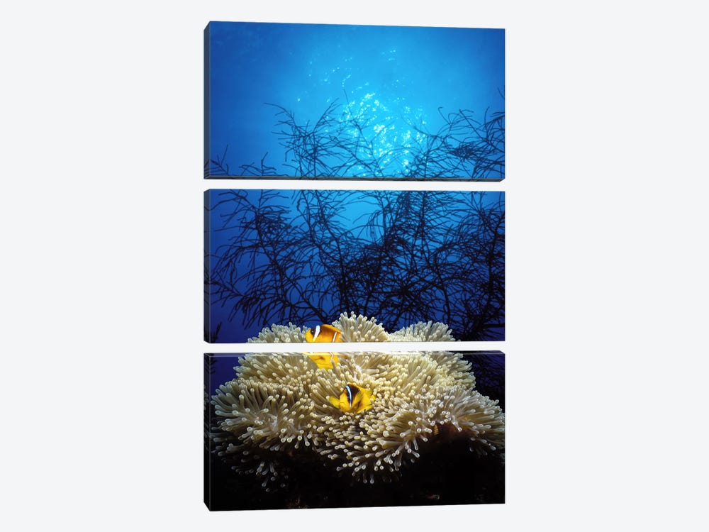 Mat anemone and Allard's anemonefish (Amphiprion allardi) in the ocean by Panoramic Images 3-piece Canvas Art Print