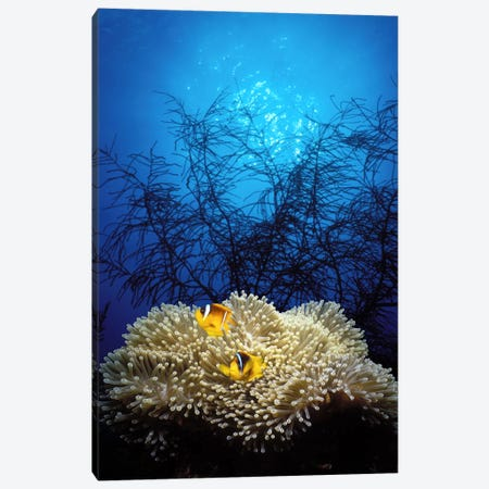 Mat anemone and Allard's anemonefish (Amphiprion allardi) in the ocean Canvas Print #PIM7689} by Panoramic Images Canvas Print