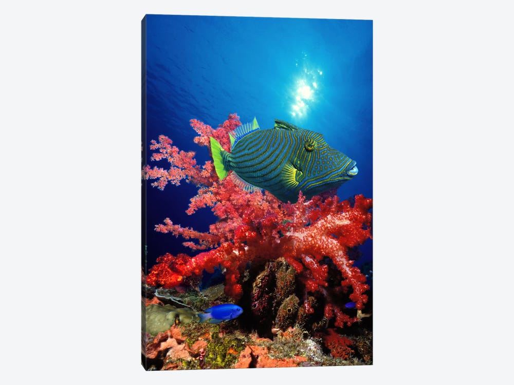 Orange-Lined triggerfish (Balistapus undulatus) and soft corals in the ocean by Panoramic Images 1-piece Art Print
