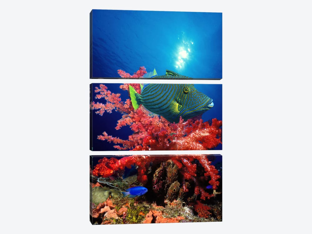 Orange-Lined triggerfish (Balistapus undulatus) and soft corals in the ocean by Panoramic Images 3-piece Canvas Print
