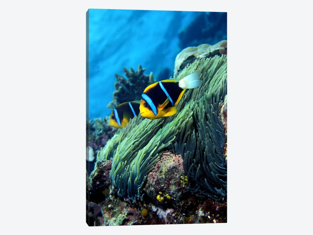 Allard's anemonefish (Amphiprion allardi) in the ocean by Panoramic Images 1-piece Canvas Wall Art