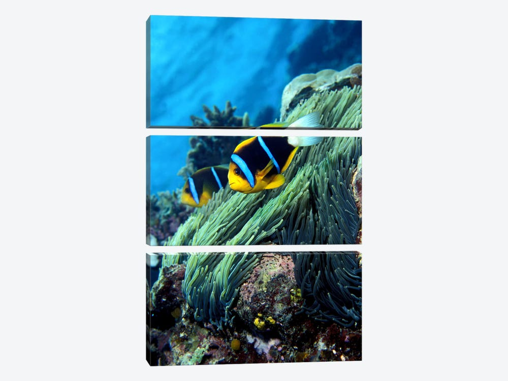 Allard's anemonefish (Amphiprion allardi) in the ocean by Panoramic Images 3-piece Canvas Wall Art