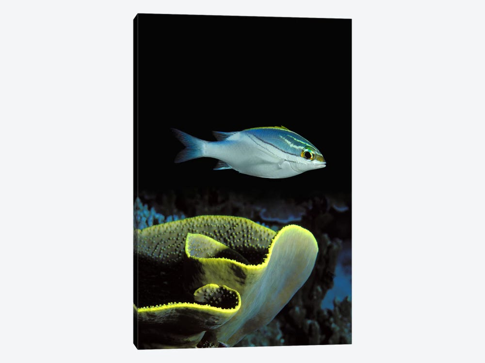 Two-Lined monocle bream (Scolopsis bilineata) and coral in the ocean by Panoramic Images 1-piece Art Print