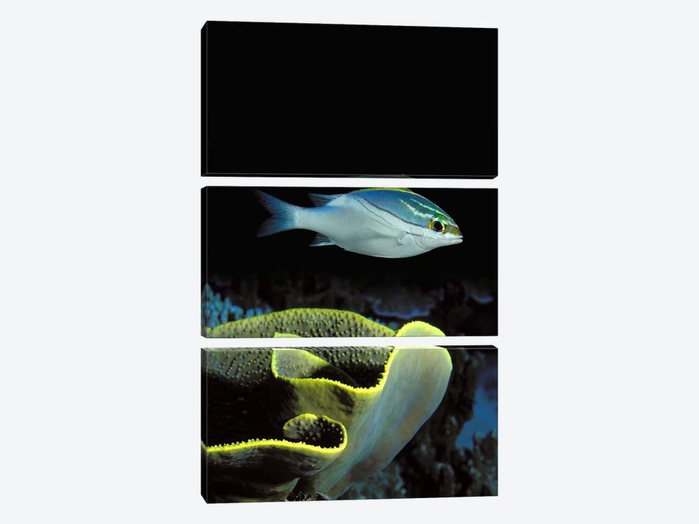 Two-Lined monocle bream (Scolopsis bilineata) and coral in the ocean by Panoramic Images 3-piece Art Print