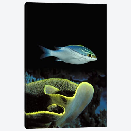 Two-Lined monocle bream (Scolopsis bilineata) and coral in the ocean Canvas Print #PIM7692} by Panoramic Images Canvas Art
