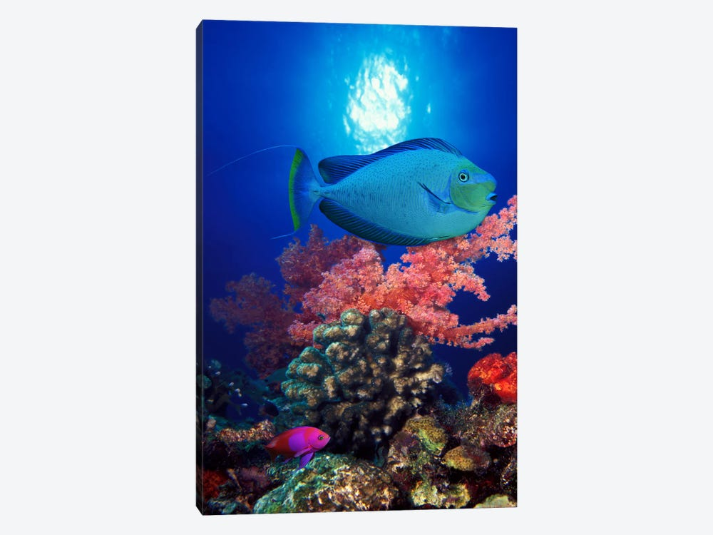 Vlamings unicornfish and Squarespot anthias (Pseudanthias pleurotaenia) with soft corals in the ocean by Panoramic Images 1-piece Canvas Wall Art