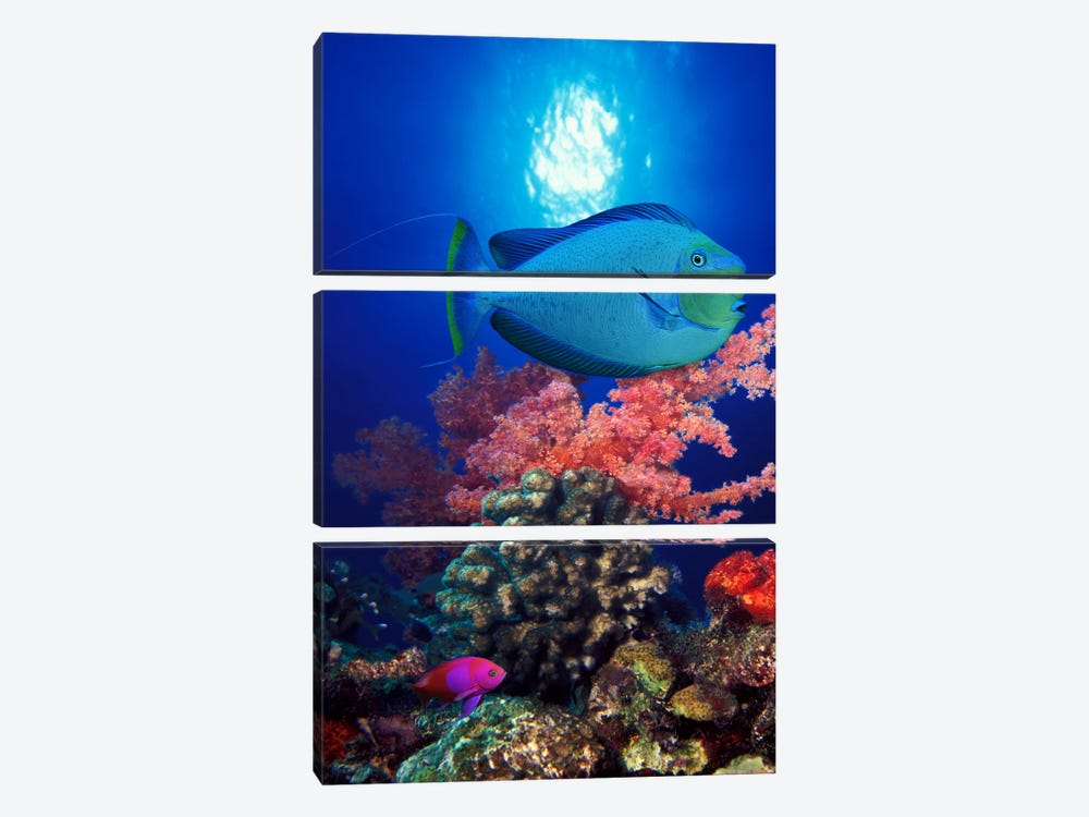 Vlamings unicornfish and Squarespot anthias (Pseudanthias pleurotaenia) with soft corals in the ocean by Panoramic Images 3-piece Canvas Wall Art