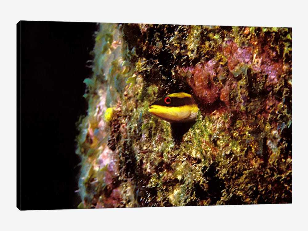 Wrasse blenny in coral wall in the sea by Panoramic Images 1-piece Art Print