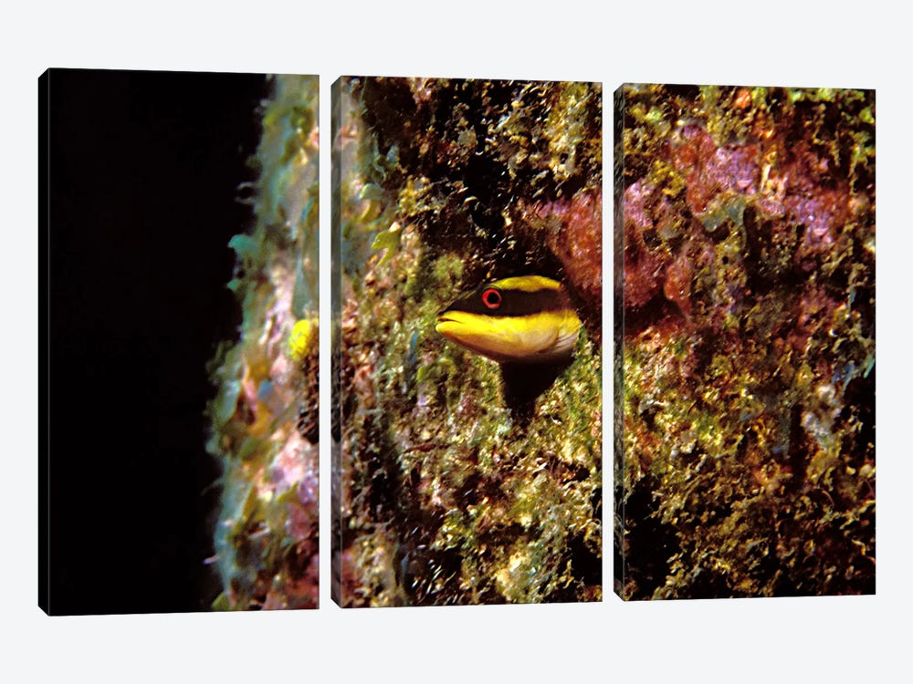 Wrasse blenny in coral wall in the sea by Panoramic Images 3-piece Canvas Print