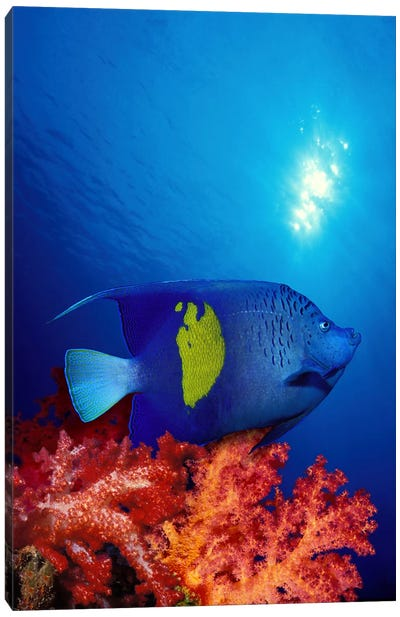Yellow-Banded angelfish (Pomacanthus maculosus) with soft corals in the ocean Canvas Print #PIM7695