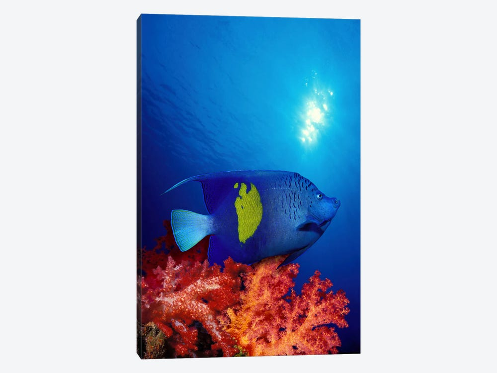 Yellow-Banded angelfish (Pomacanthus maculosus) with soft corals in the ocean by Panoramic Images 1-piece Canvas Wall Art