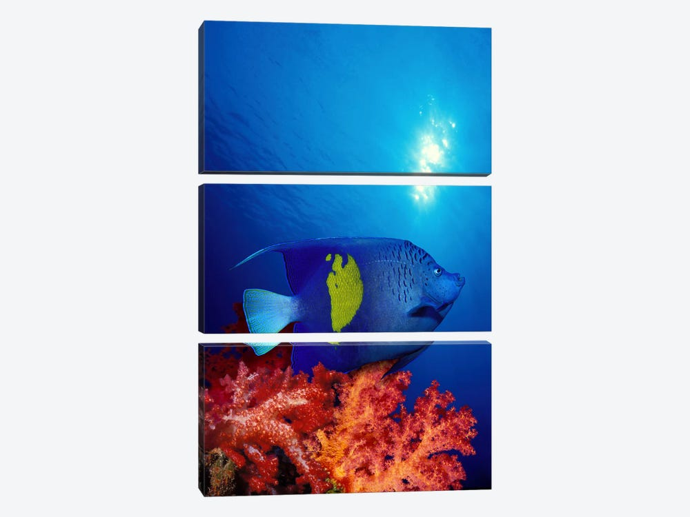 Yellow-Banded angelfish (Pomacanthus maculosus) with soft corals in the ocean by Panoramic Images 3-piece Canvas Wall Art