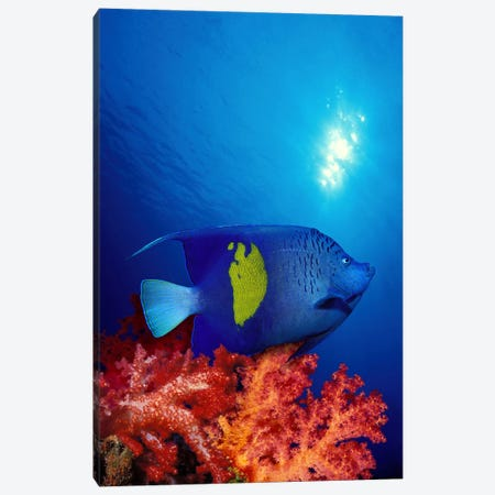 Yellow-Banded angelfish (Pomacanthus maculosus) with soft corals in the ocean Canvas Print #PIM7695} by Panoramic Images Canvas Print