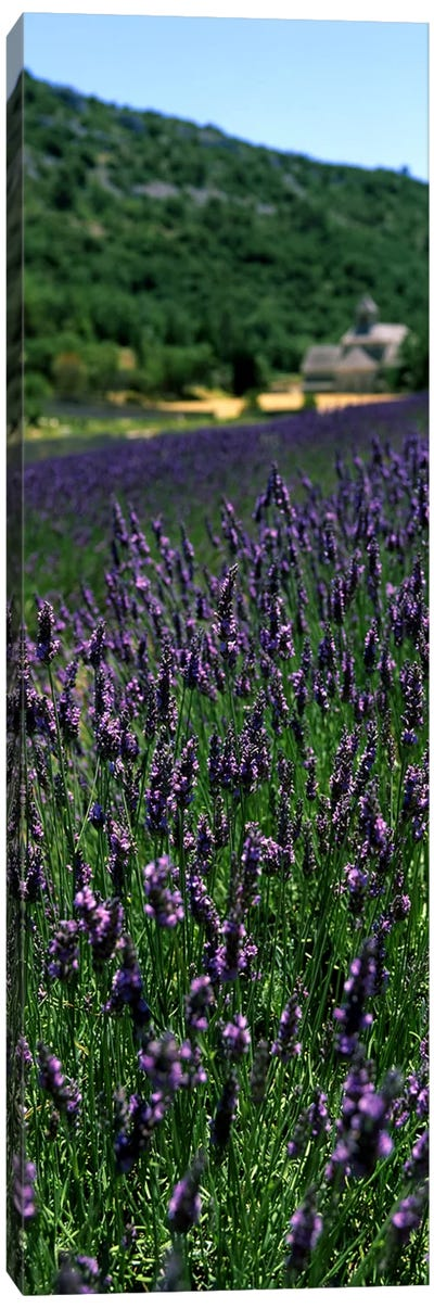 Lavender crop with a monastery in the backgroundAbbaye De Senanque, Provence-Alpes-Cote d'Azur, France Canvas Art Print