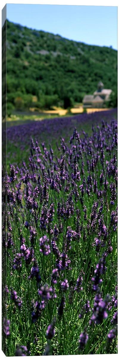 Lavender crop with a monastery in the backgroundAbbaye De Senanque, Provence-Alpes-Cote d'Azur, France Canvas Print #PIM7775