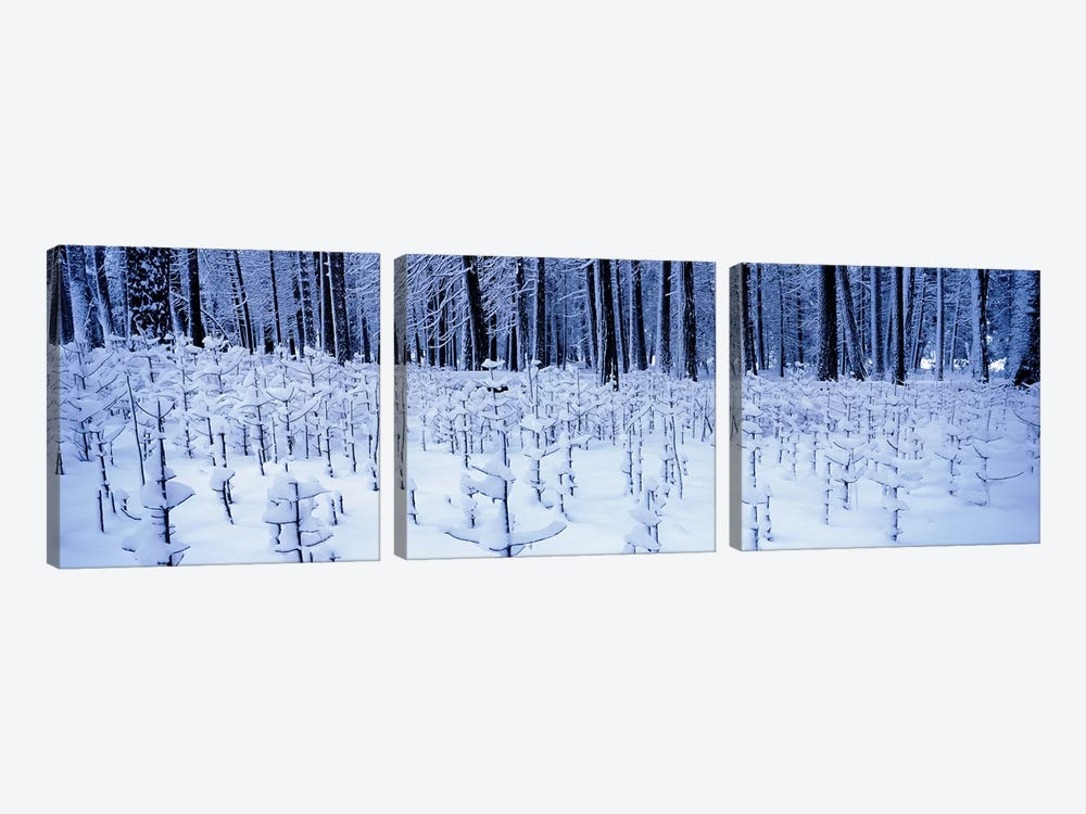 Snow covered trees on a landscape, Yosemite Valley, Yosemite National Park, Mariposa County, California, USA by Panoramic Images 3-piece Art Print