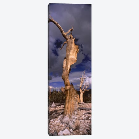 Bristlecone pine trees (Pinus longaeva) on a landscape, White Mountain, California, USA Canvas Print #PIM7856} by Unknown Artist Canvas Art Print