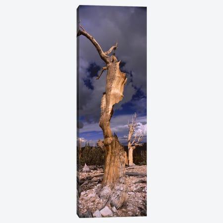 Bristlecone pine trees (Pinus longaeva) on a landscape, White Mountain, California, USA Canvas Print #PIM7856} by Unknown Artist Canvas Art Print