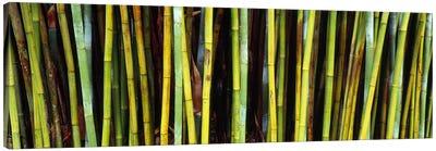 Bamboo trees in a botanical garden, Kanapaha Botanical Gardens, Gainesville, Alachua County, Florida, USA Canvas Art Print