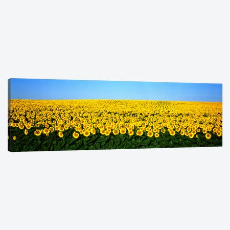 Sunflower FieldNorth Dakota, USA Canvas Print #PIM811} by Panoramic Images Canvas Print