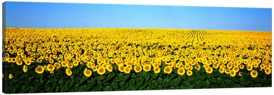 Sunflower FieldNorth Dakota, USA Canvas Art Print