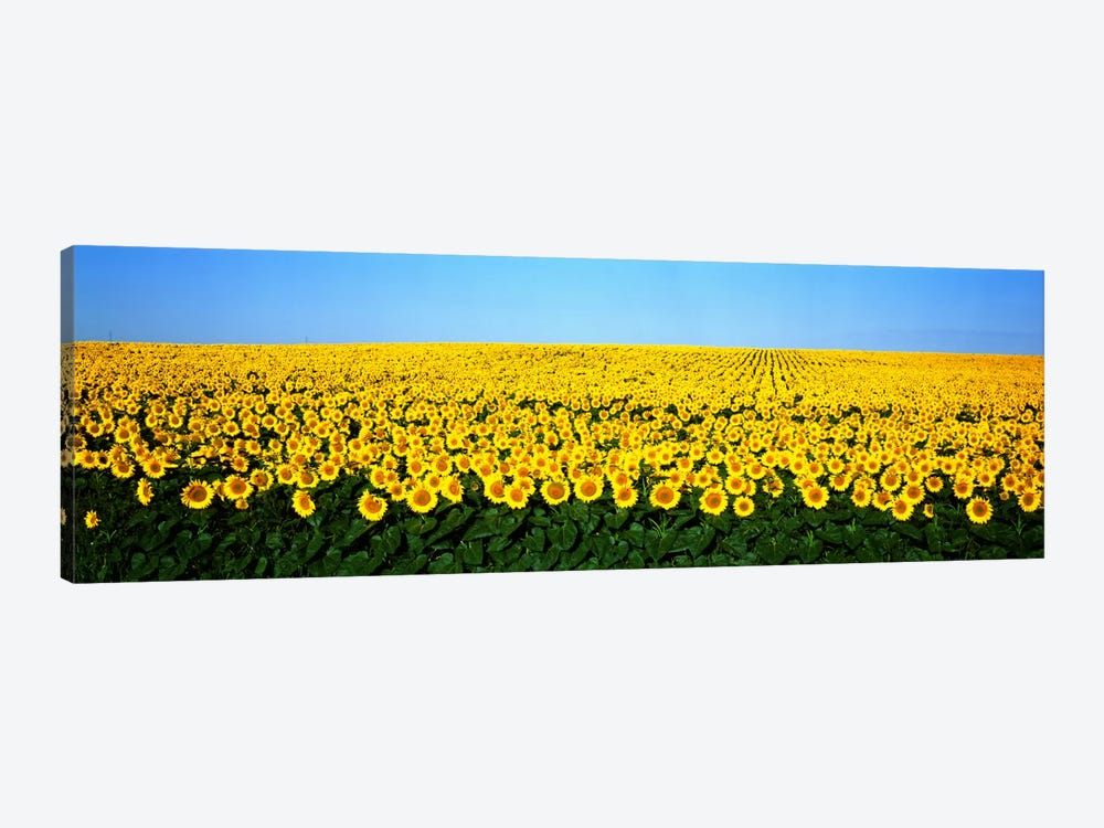 Sunflower FieldNorth Dakota, USA by Panoramic Images 1-piece Art Print