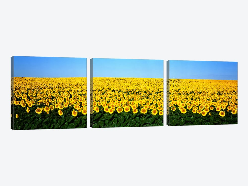 Sunflower FieldNorth Dakota, USA by Panoramic Images 3-piece Art Print