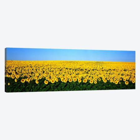 Sunflower FieldNorth Dakota, USA Canvas Print #PIM811} by Panoramic Images Canvas Print