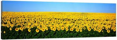 Sunflower FieldNorth Dakota, USA Canvas Art Print
