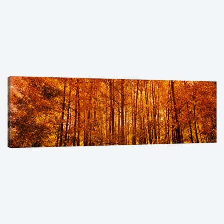 Aspen trees at sunrise in autumn, Colorado, USA Canvas Print #PIM8190} by Panoramic Images Canvas Print