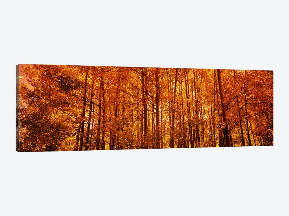 Aspen trees at sunrise in autumn, Colorado, USA by Panoramic Images 1-piece Canvas Print