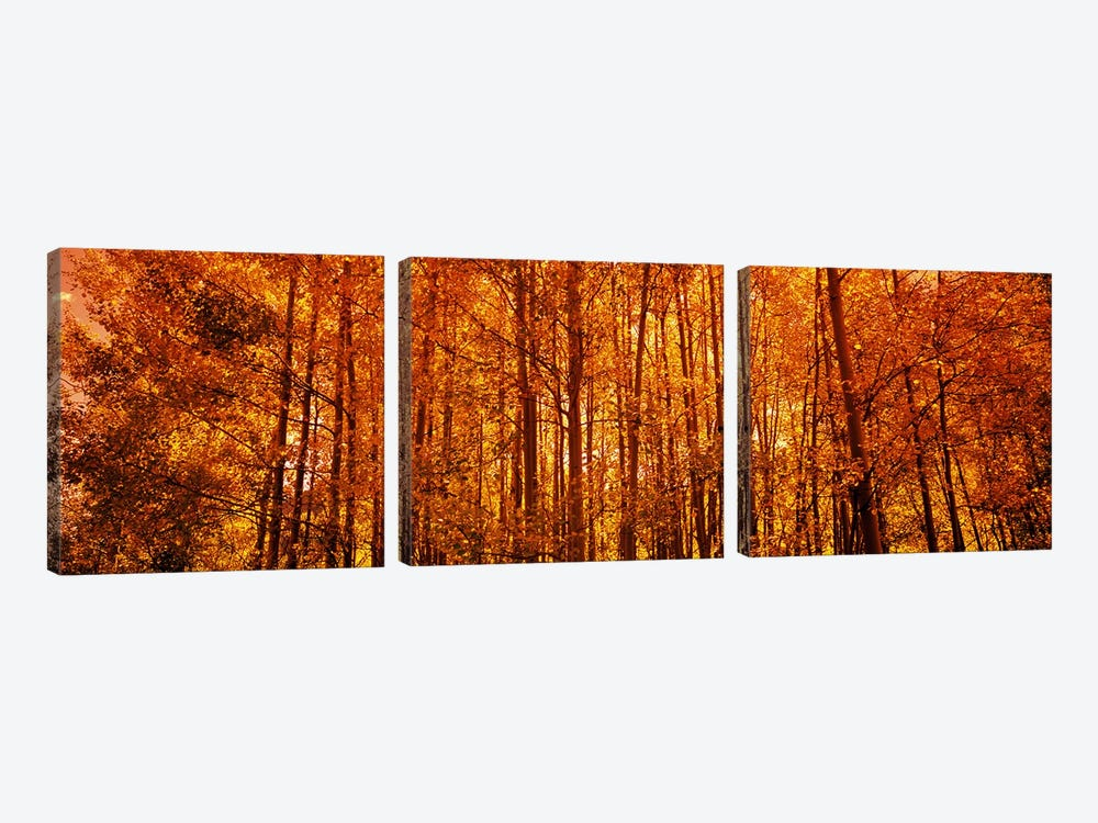 Aspen trees at sunrise in autumn, Colorado, USA by Panoramic Images 3-piece Canvas Art Print