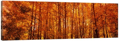 Aspen trees at sunrise in autumn, Colorado, USA Canvas Art Print