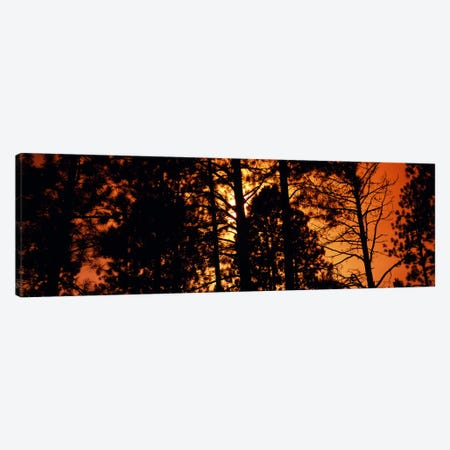 Low angle view of trees at sunrise, Colorado, USA Canvas Print #PIM8195} by Panoramic Images Canvas Wall Art