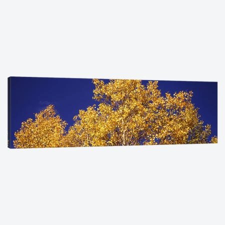 Low angle view of aspen trees in autumn, Colorado, USA Canvas Print #PIM8202} by Panoramic Images Art Print
