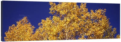 Low angle view of aspen trees in autumn, Colorado, USA Canvas Print #PIM8202