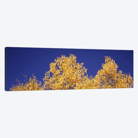 Low angle view of aspen trees in autumn, Colorado, USA #2 Canvas Print #PIM8203} by Panoramic Images Canvas Print