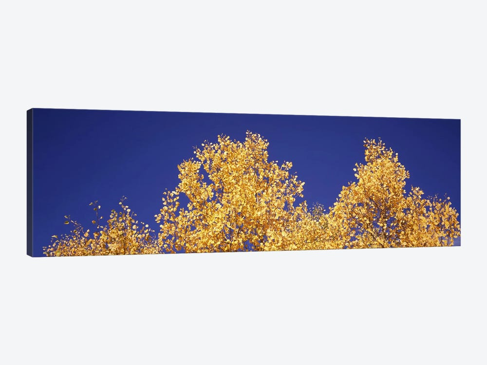 Low angle view of aspen trees in autumn, Colorado, USA #2 by Panoramic Images 1-piece Canvas Art Print