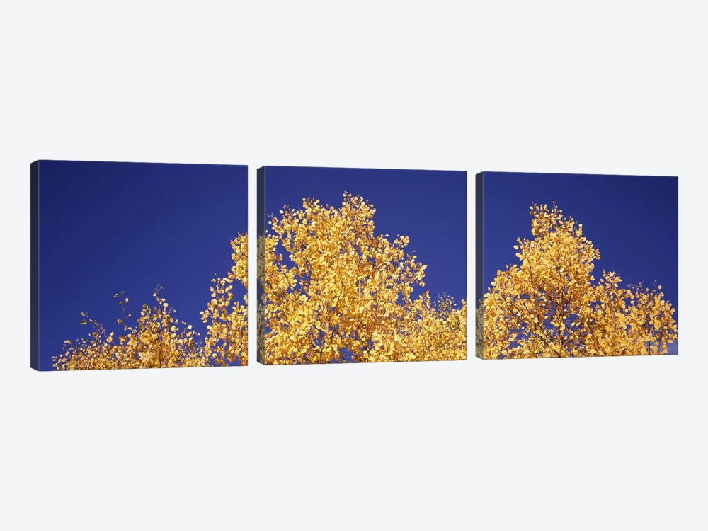 Low angle view of aspen trees in autumn, Colorado, USA #2 by Panoramic Images 3-piece Canvas Art Print
