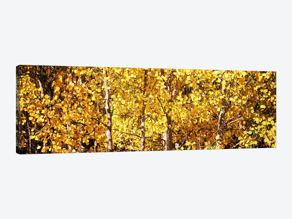 Aspen trees in autumn, Colorado, USA #5 by Panoramic Images 1-piece Canvas Artwork