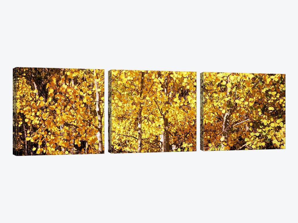 Aspen trees in autumn, Colorado, USA #5 by Panoramic Images 3-piece Canvas Artwork