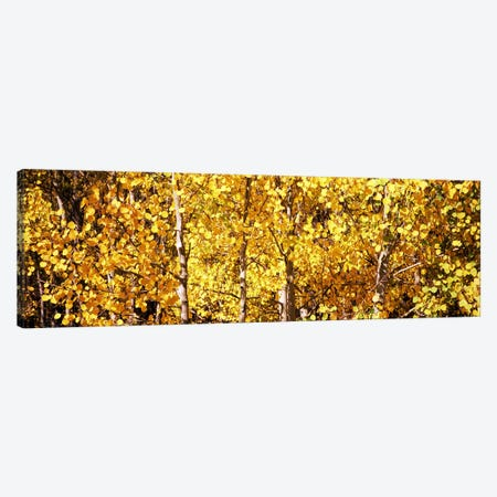 Aspen trees in autumn, Colorado, USA #5 Canvas Print #PIM8204} by Panoramic Images Canvas Art