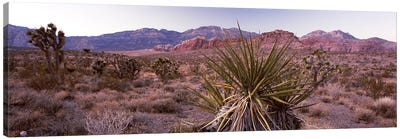 Yucca plant in a desertRed Rock Canyon, Las Vegas, Nevada, USA Canvas Print #PIM8209