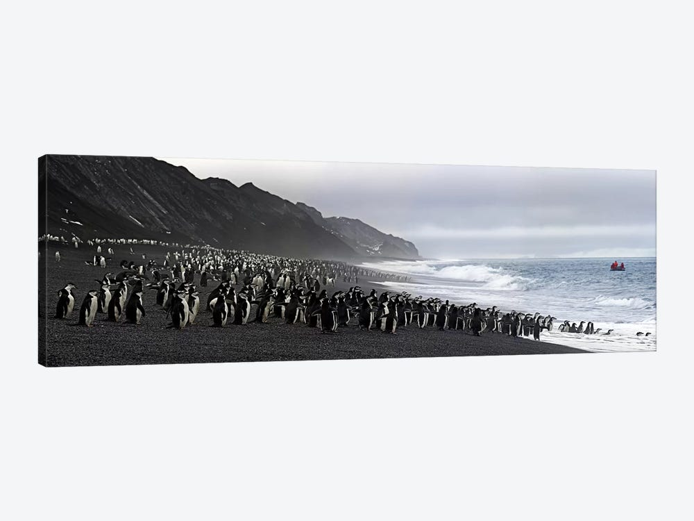 Chinstrap penguins marching to the sea, Bailey Head, Deception Island, Antarctica 1-piece Canvas Print